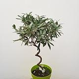 올리브나무 외목대 