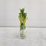 개운죽(20cm,10개입)/공기정화식물/온누리 꽃농원 