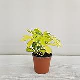 칼라홍콩야자/공기정화식물/온누리 꽃농원 