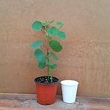 [진아플라워] 하트잎 유칼립투스 폴리안 소형 045|