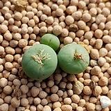 파가에 (Conophytum pageae 3두) 