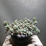 라울 다육이 다육식물 묵은둥이 공룡꽃식물원 30|Sedum Clavatum