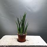 빼빼로스투키 스투키 관엽식물 공기정화식물 공룡꽃식물원 40|Sansevieria Stuckyi