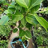 목대가 굵은뱅갈고무나무(아이도 건강하고 가격은 완전저렴해요) Ficus elastica