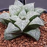 쓰리 리틀워즈 × 위스퍼노트2 교배종 (HW266) 