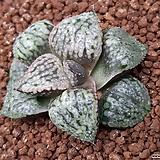 픽타 NP1 (HW269) Haworthia picta