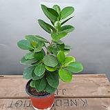 프랑스고무나무(10센치) 한목대로된 아이에요 Ficus elastica
