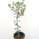 대엽 올리브나무 