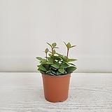 줄리아페페/공기정화식물/온누리 꽃농원 