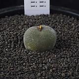 XP3239-C.maughanii X stephanii  마우가니 스테파니 교배종 Conophytum maughanii