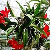 카틀레야 레드돌(아주예쁜빨강색).(화려한 색).카틀레야 대표적인상품.꽃대있어요.|