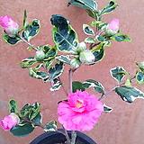[진아플라워] 녹아도변천 동백나무  480|