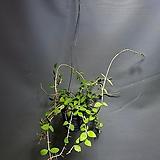 호야말리 말리호야 수입호야 공중식물 공룡꽃식물원 60|Hoya carnosa