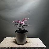 칼라만냥금 천냥금 중품 공룡꽃식물원 60|