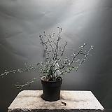 마오리고로키아그린 코로키아 수입식물 공룡꽃식물원 10|