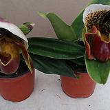 파피오페딜럼.브라운색.꽃화형이 큰꽃.인기상품.|