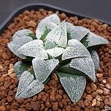 피그마에아 PG-20 (HW271) Haworthia pygmaea