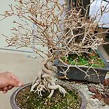사향단풍근상나무-단품깊은향기아주귀한 분재 
