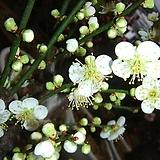 백매화나무-깊은향기매실분재 
