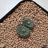C. urspurungianum 우르스프런기아눔 (特流紋 CO138) 