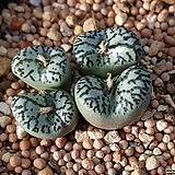 C. obcordellum 후지와라아교 4두(CO137) Orostachys  iwarenge f. varegata Fuji