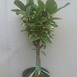 뱅갈고무나무/굵은외목대/높이90센치|Ficus elastica