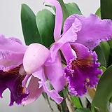 카틀레야.(진핑크에빨강립술).아주예쁜색.꽃대형종.향기좋은향.고급종.잘않나오는 품종.인기상품.꽃이피었던상품.|