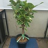 뱅갈고무나무/굵은 외목대/높이90센치|Ficus elastica