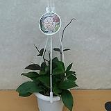 소원호야/꽃피는호야|Hoya carnosa