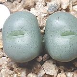 Conophytum ssp 