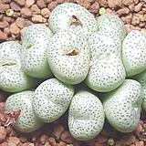 C.truncatum  (트런카튬소형종) 
