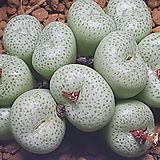 C.truncatum  (트런카튬 소형종) 