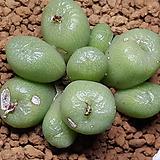 C ectypum ssp(엑티폼) 