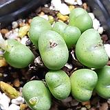 conophytum ssp (연핑크) 
