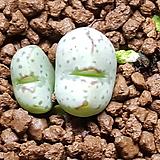 conophytum ssp (헬레나붐) Echeveria Helena