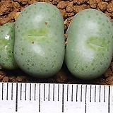 Conophytum flavum(플라붐) 