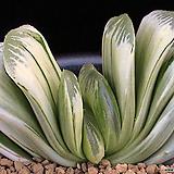 화이트크리스마스 무지자구 (Haworthia 'White Christmas' non-variegated offset)