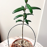 올리브나무  빈티지플랜트(미니멀한 귀요미)행잉걸이+토분+저면관수용 투명컵|