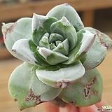 환엽블러쳐스|Dudleya farinosa Bluff Lettuce