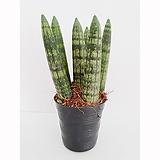 공기정화 스투키 미니 (15cm) Sansevieria Stuckyi
