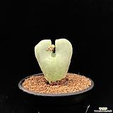 C. bilobum (白花) 빌로붐 백화