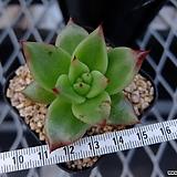 원종마리아 (주성농원 클론) (Echeveria agavoides 'Maria', 자구출신)