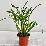 엔시카타마리아/공기정화식물/온누리 꽃농원 Echeveria agavoides Maria