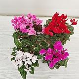 시크라멘(색상랜덤)/공기정화식물/온누리 꽃농원 