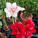 일본아마릴리스-스위트겹꽃미향-구근식물 
