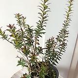 은매화(촘촘한 잎과 예쁜수형이 매력적인)묵은주/화분별도 