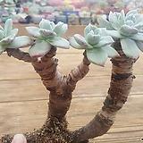 목대 환엽블러쳐스 5두 군생|Dudleya farinosa Bluff Lettuce
