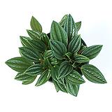 에덴로소 페페로미아 실내공기정화식물 먼지먹는식물 관엽식물|