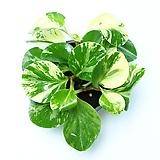 골드페페 페페로미아 실내공기정화식물 먼지먹는식물 관엽식물|