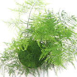 아스파라거스 나누스 실내공기정화식물 관엽식물 실내화초 실내식물|